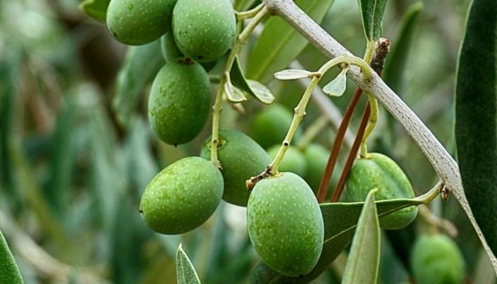 Bagaimana Anda tahu dari mana asal minyak zaitun Anda?